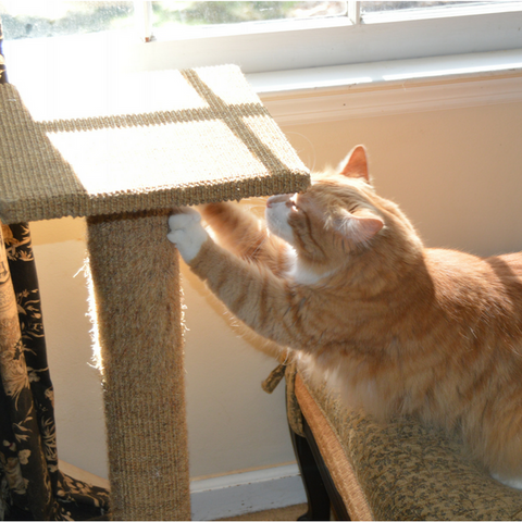 ginger tabby cat scratching on a scratch post