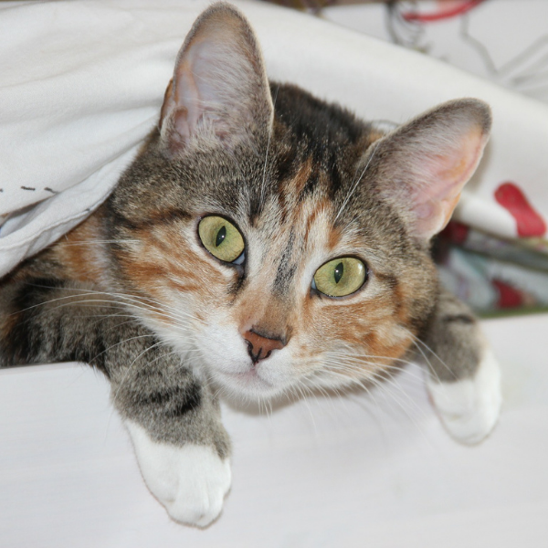torti kitten looking at camera while peeking out of sheets