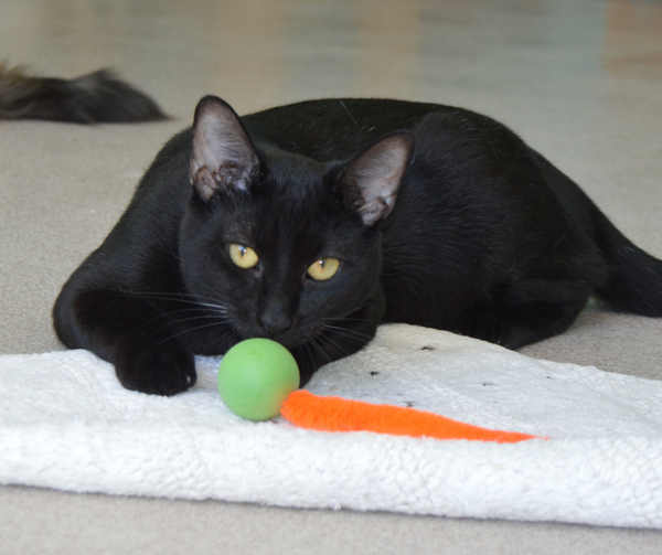 black cat lying on white towel with a wiggly pong cat toy