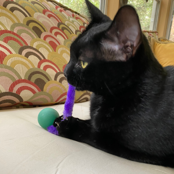 shiny black cat with a Wiggly Pong cat toy tail in it's mouth while the cat is holding onto the ping pong ball with its front paws and claws
