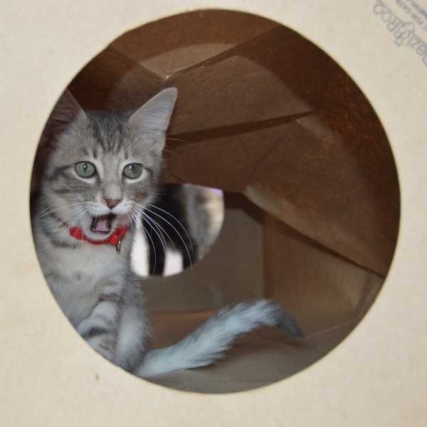 kitten inside a Hide and Sneak cat toy tunnel look out of entry hole
