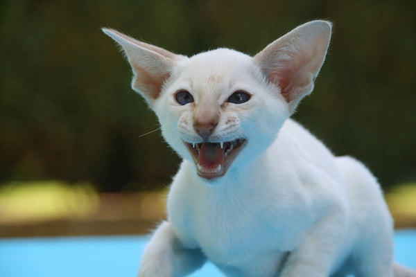 white kitten hissing at camera