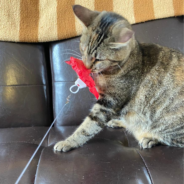 tabby cat holding onto red tissue paper attached to a looper toy with its mouth
