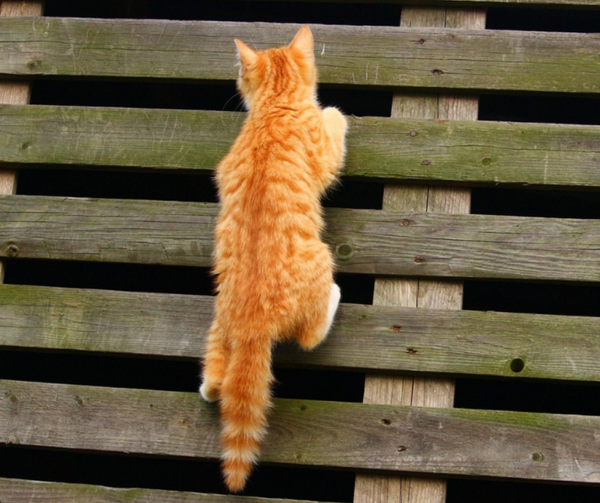 orange tabby kitten climbing up slats of a pallet