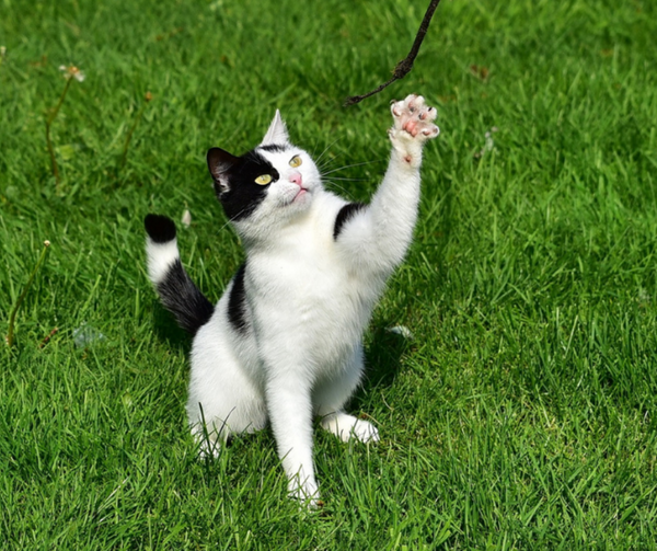 black and white cat outside on grass reaching for a string toy