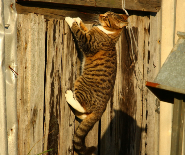 tabby cat with white feet climbing up a fence