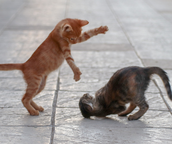 two kittens playing and fighting. The ginger tabby is pounding on the grey tabby who is crouching on the floor