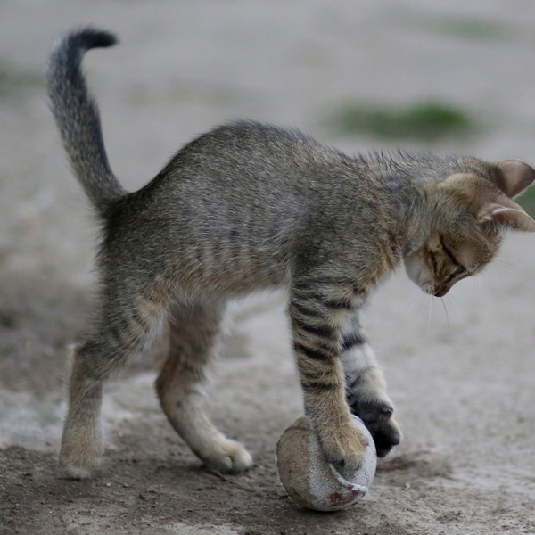skinny tabby kitten with arched back playing with a softball