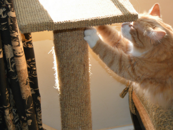 orange tabby cat leaning from stool onto sisal scratch post and scratching it