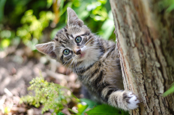 kitten looking at camera while climbing up a tree