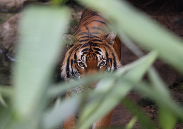 tiger hiding behind green leaves