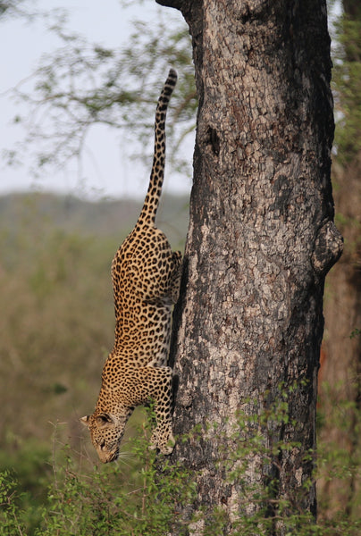 cheetah climbing down tree trunk