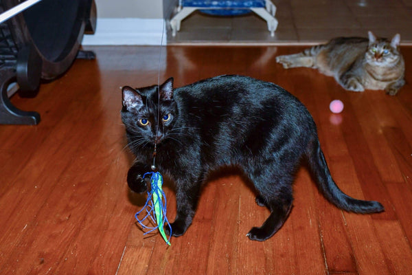 Black cat with Dezi & Roo squid cat toy in its mouth
