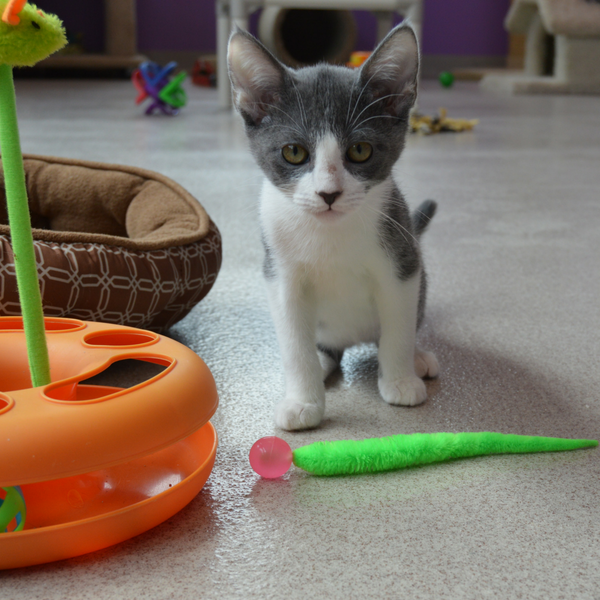 grey and white kitten staring at camera with wiggly ball cat toy at her feet