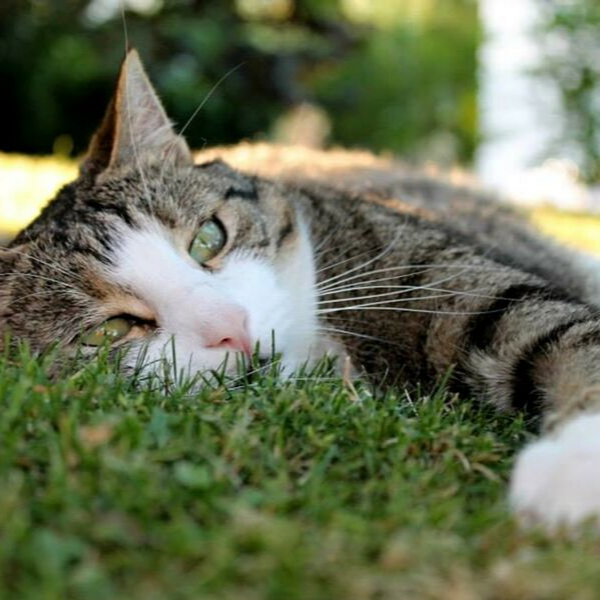 tabby cat lying on grass looking at camera