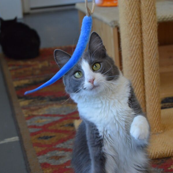 grey and white cat looking at an a-lure-ring cat toy