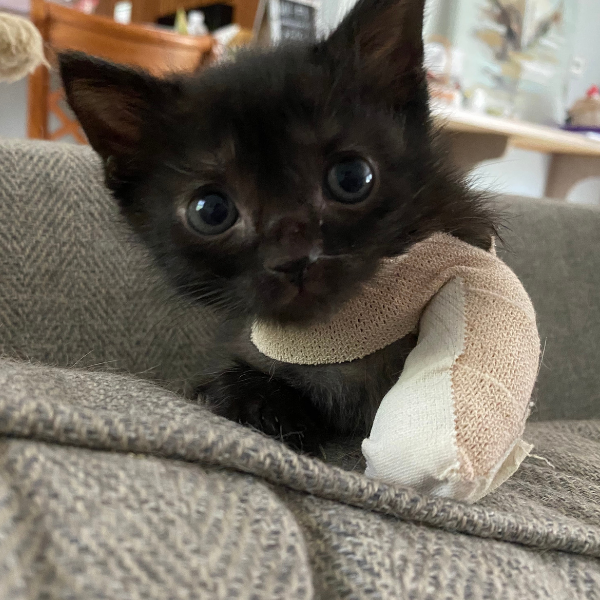 black kitten with front paw wrapped up in bandage