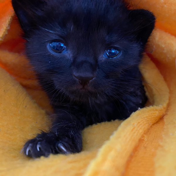 tiny black kitten looking straight at camera with front limb extended while bundled up in a yellow blanket