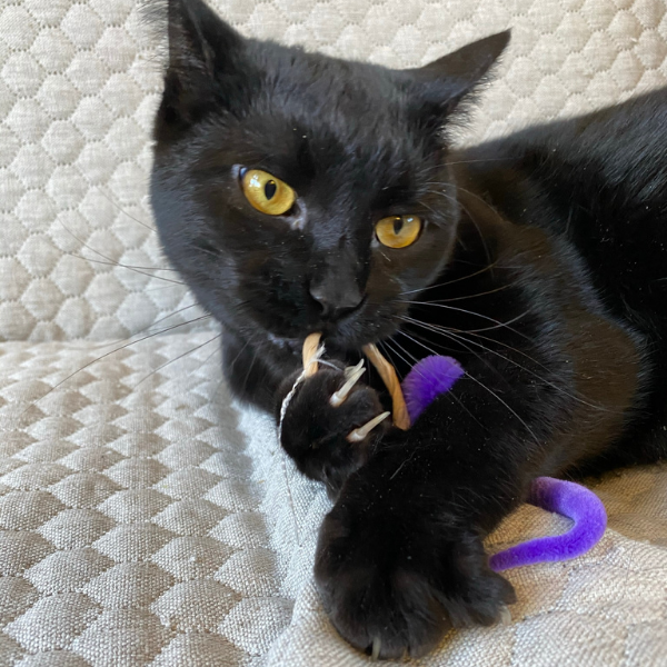 black cat lying on a white couch with a ring toy in it's paws and the cat is chewing on the ring toy