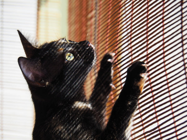 black cat trying to climb up the blinds