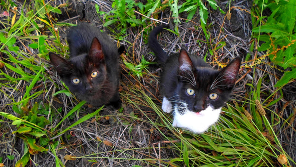 two kittens standing in grass looking up at camera