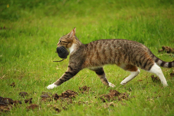 tabby cat running with a rat in his mouse