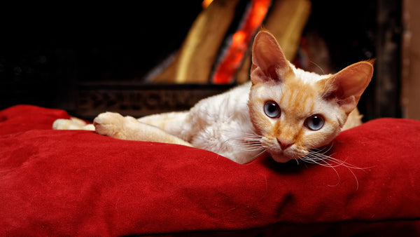 devon rex cat lying on red bed cushion