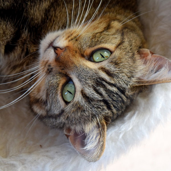 tabby cat lying on back looking up at camera