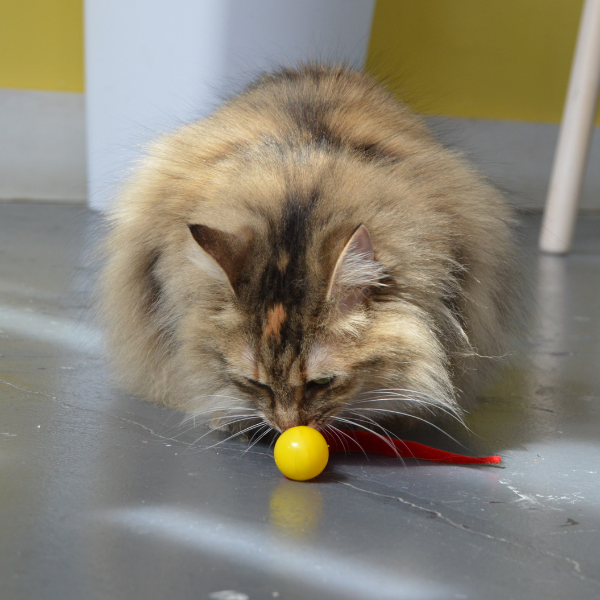 fluffy long haired torti cat sniffing a Wiggly Pong cat toy ball