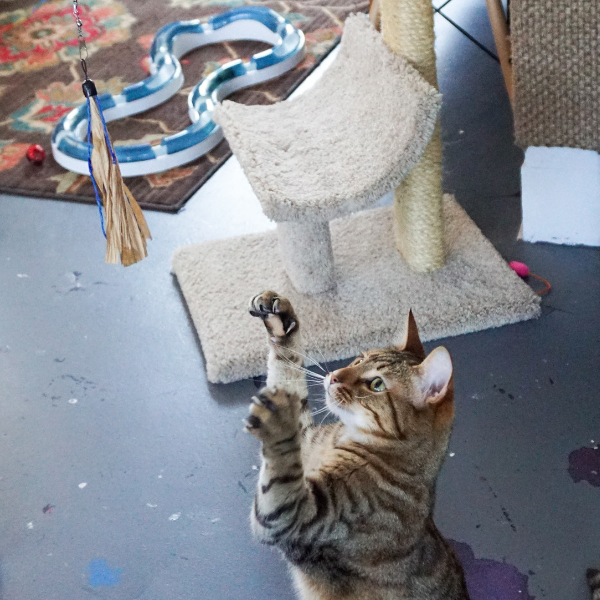 tabby cat reaching and ready to pounce on a cuttlefish wand toy for cats