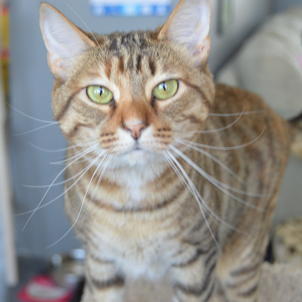 beautiful tabby cat with long whiskers looking straight at camera