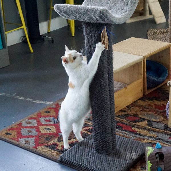 white cat scratching a cat tree post