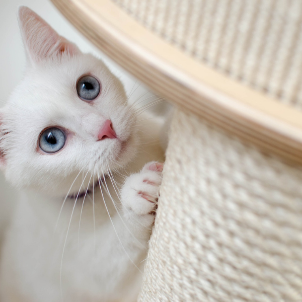white cat with blue eyes scratching a scratch post