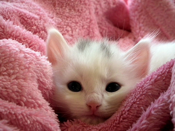 very young white kitten bundled in pink blanket