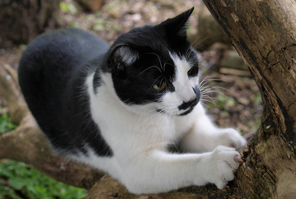 black and white tuxedo cat scratching on a tree