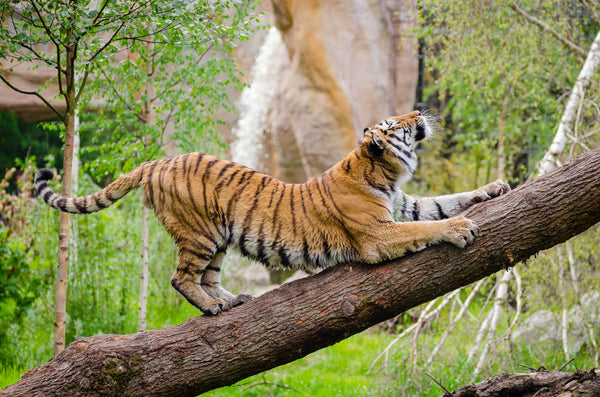 tiger scratching on a tree trunk