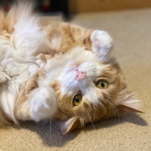 long haired orange tabby cat on his back looking adoringly up at the camera