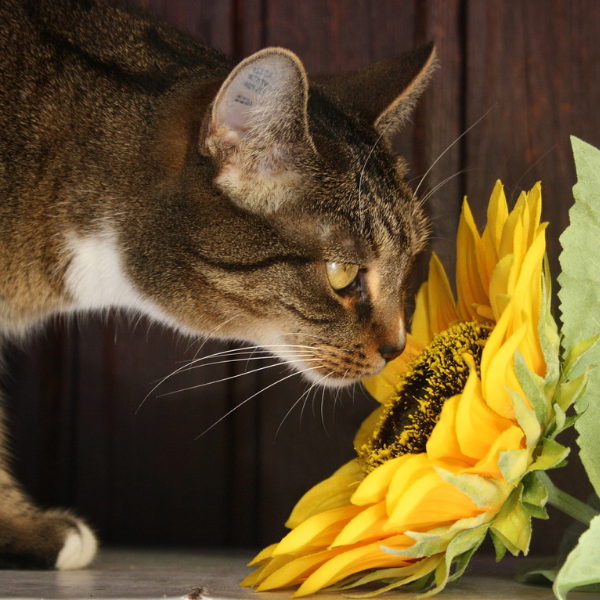 tabby cat smelling a large sunflower