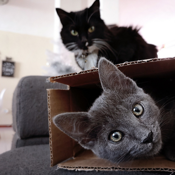 a grey cat inside a box looking straight out at camera
