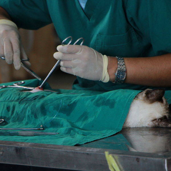 cat on surgery table being operated on