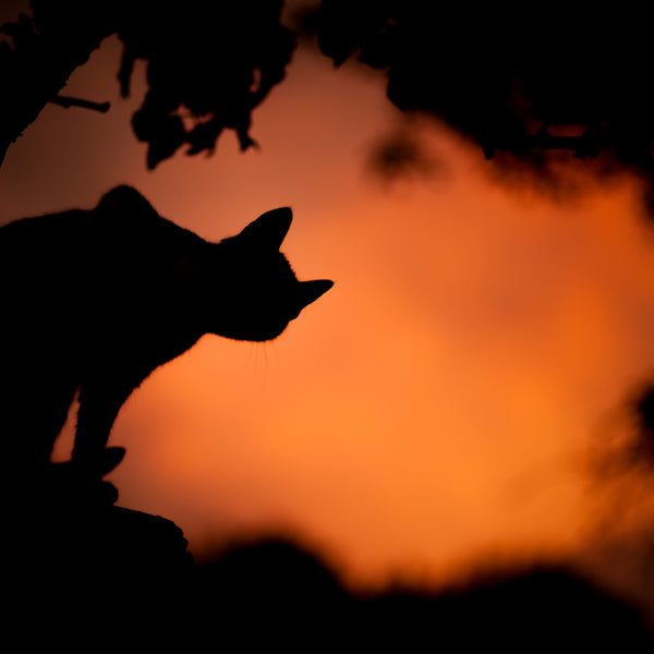 black cat silhouette on orange night sky