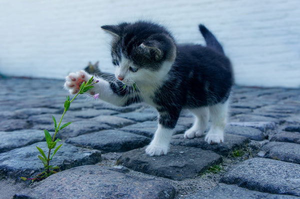 little black and white kitten with paw reaching toward weed growing between brick pavement