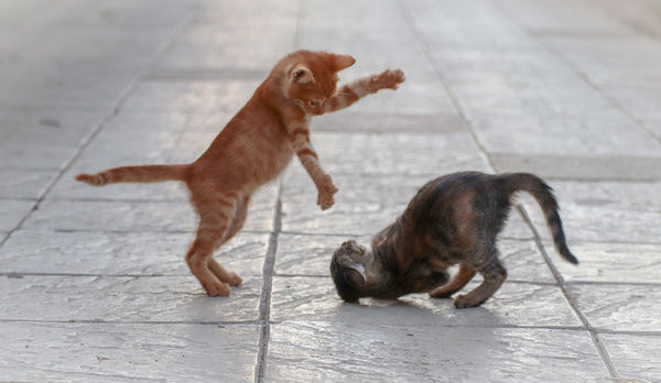 two kittens playing with the ginger tabby kitten jumping on the gray tigger stripped kitten