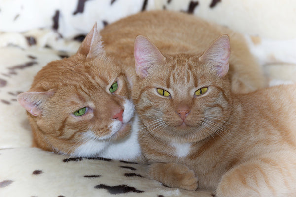 two orange tabby cats curled up together on a blanket