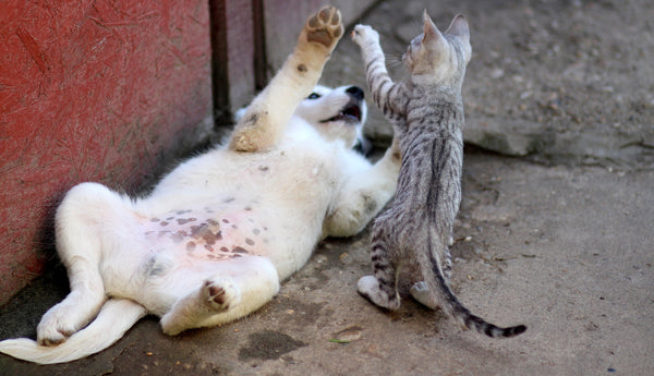puppy on his back playing with a grey tabby kitten