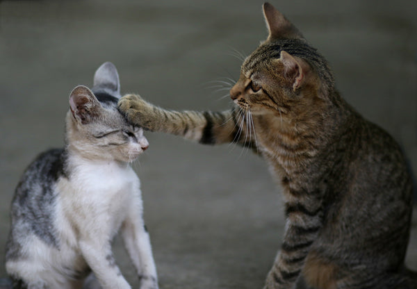 tigger stripped kitten is reaching his paw out to touch a little grey and white kitten's head