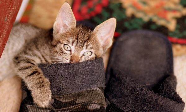 tabby kitten looking directly at camera while inside a slipper
