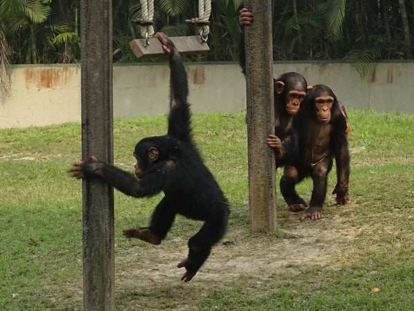 chimpazees in a playground