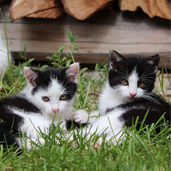 two black and white kittens in the grass playing