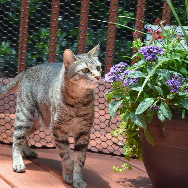 tabby cat on screened in deck smelling a container of flowers